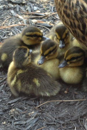 These ducklings make their home in the JC courtyard, and they are huddling close to their mother for warmth.