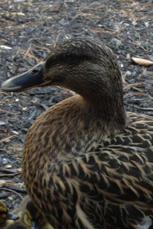 mother ducker (1 of 1)