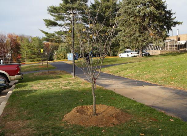 The facilities staff of the maintenance group planted trees along side the faculty parking lot on Nov. 5. These plantings were a part of the renovations around JC.