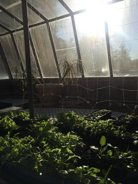 The plants, in the newly renevated greenhouse, soak up the sun. Senior Julia Lindemon began the maintence and repairs over the summer and started growing her first plants six months ago.