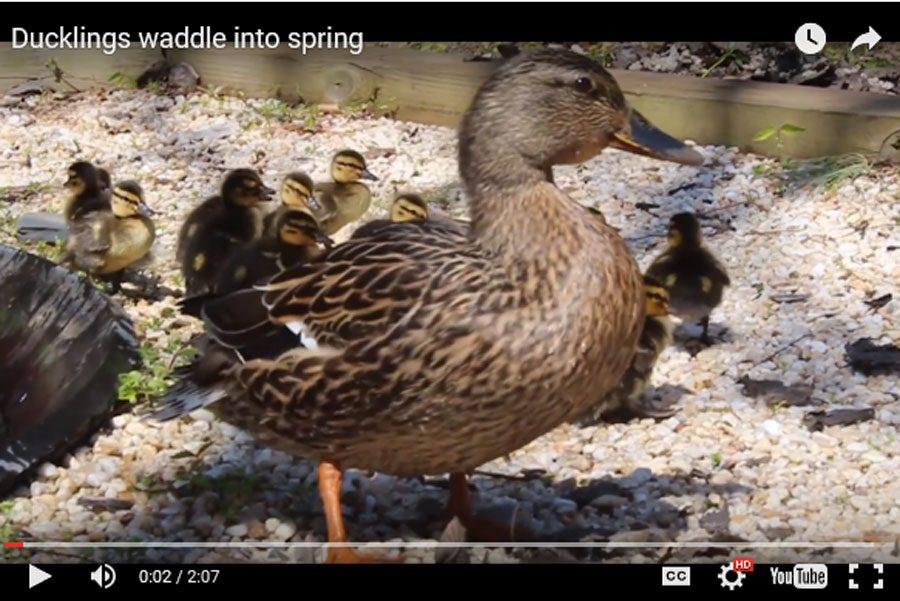 The ducklings swim in the pond located inside the courtyard. The mother duck and her ducklings were escorted out of the courtyard on Monday, April 18 after school hours.