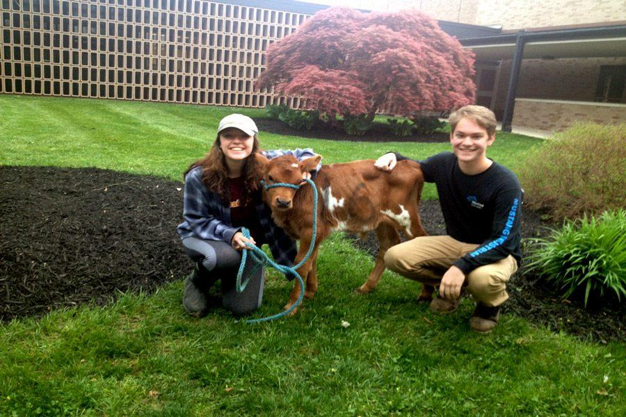 Seniors Nick Moscati and Maria Smith stand outside with a calf as people arrive to school. This was one of the numerous pranks that the seniors did throughout the week.