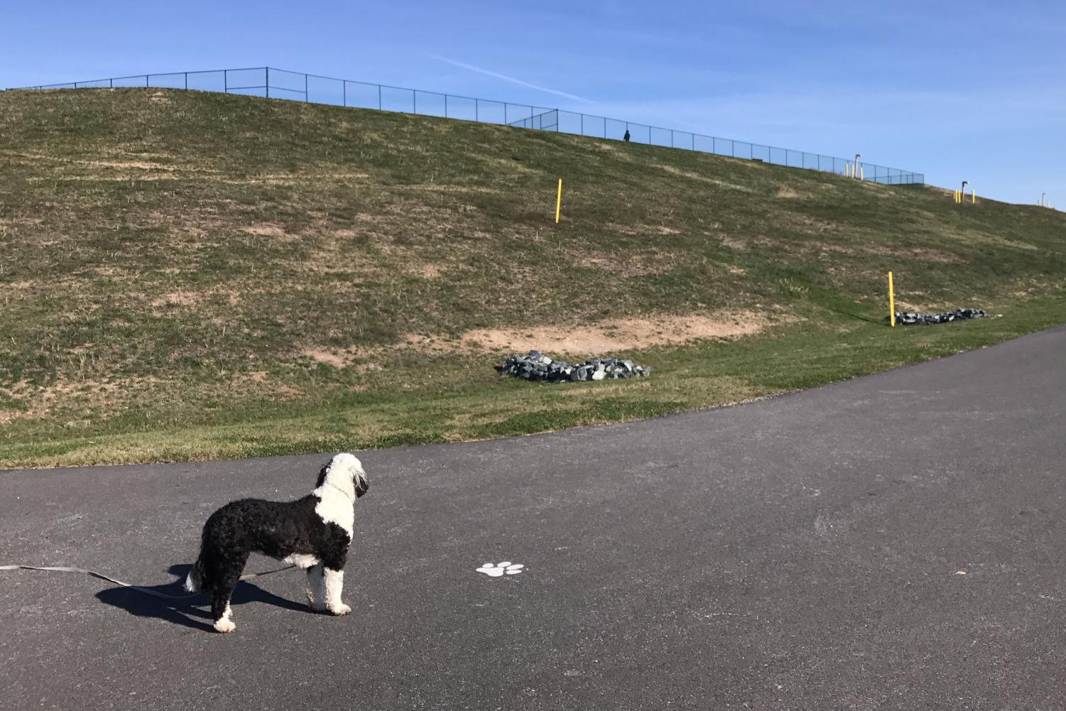 Wembley Becker longingly gazes up the hill towards the fenced-in dog park. The Abingdon Road Park officially opened in August 2017 and boasts many features, including a dog park and walking trail.