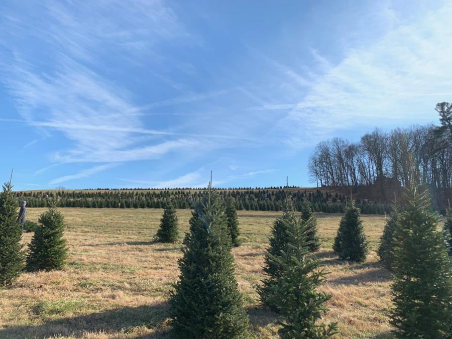 Jarrettsville Nurseries provides the perfect Christmas tree picking experience